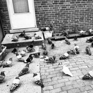 Back Door Pigeons
